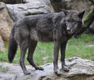 Auch für ihn gilt die Reisewarnung des Bundesamtes für magische Wesen. Grauer Timberwolf im Wildpark Lüneburger Heide, fotografiert von Quartl, via Wikimedia Commons.